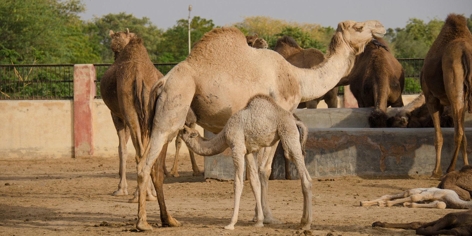 National Camel Research Centre